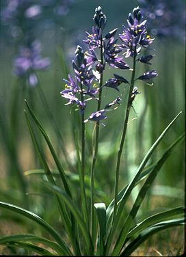 Camassia quamash (Pursh) Greene.jpg