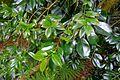 Camellia saluenensis - Trewidden Garden - Cornwall, England - DSC02374.jpg