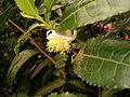 Camellia sinensis BotGardBln1105FlowerSide.JPG
