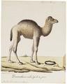 Camelus dromedarius - 1700-1880 - Print - Iconographia Zoologica - Special Collections University of Amsterdam - UBA01 IZ21600063.tif