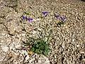 Campanula rotundifolia sl16.jpg