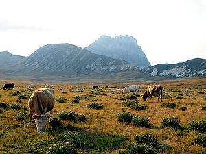 Campo Imperatore -  Cows graze at Campo Imperatore beneath the Corno Grande in late summer
