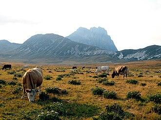 Campo Imperatore -  Cows graze at Campo Imperatore beneath the Corno Grande in late summer