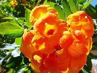 <i>Campsis</i> genus of plants