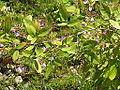 Campylotropis macrocarpa (9898939885).jpg