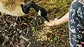 Canada goose (38170749085).jpg