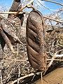 Canavalia cathartica.jpg