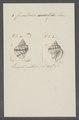 Cancellaria cancellata - - Print - Iconographia Zoologica - Special Collections University of Amsterdam - UBAINV0274 084 05 0008.tif