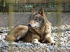 Canis lupus Stadt Haag zoo 01.jpg