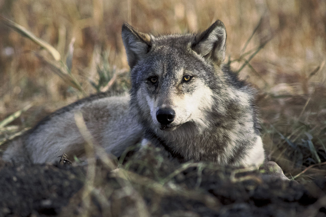 Gray Wolf Pets The Modern Gray Wolf
