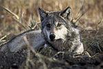 Sivi volk je zavarovana vrsta