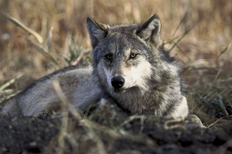 File:Canis lupus laying in grass.jpg