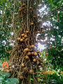 Cannon Ball Tree at Thalavoor.jpg