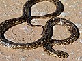 Cape Cobra (Naja nivea) found dead on the road (6856813016).jpg