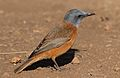 Cape Rock Thrush, Monticola rupestris, at Walter Sisulu National Botanical Garden, Gauteng, South Africa (29375709066).jpg