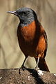 Cape Rock Thrush - male, Monticola rupestris, at Suikerbosrand Nature Reserve, Gauteng, South Africa (14813067304).jpg