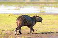Capybara - Chigüire (Hydrochoerus hydrochaeris) (9722123353).jpg