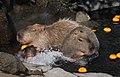 Capybara Izu Shaboten 001.jpg