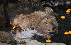 image of Capybara Izu Shaboten 001