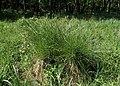 Carex paniculata kz05.jpg