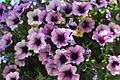 Carmel - Hanging Flowers (2621108338).jpg