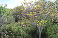 Carmel Flora - Hai-Bar Nature Reserve IMG 0786.JPG