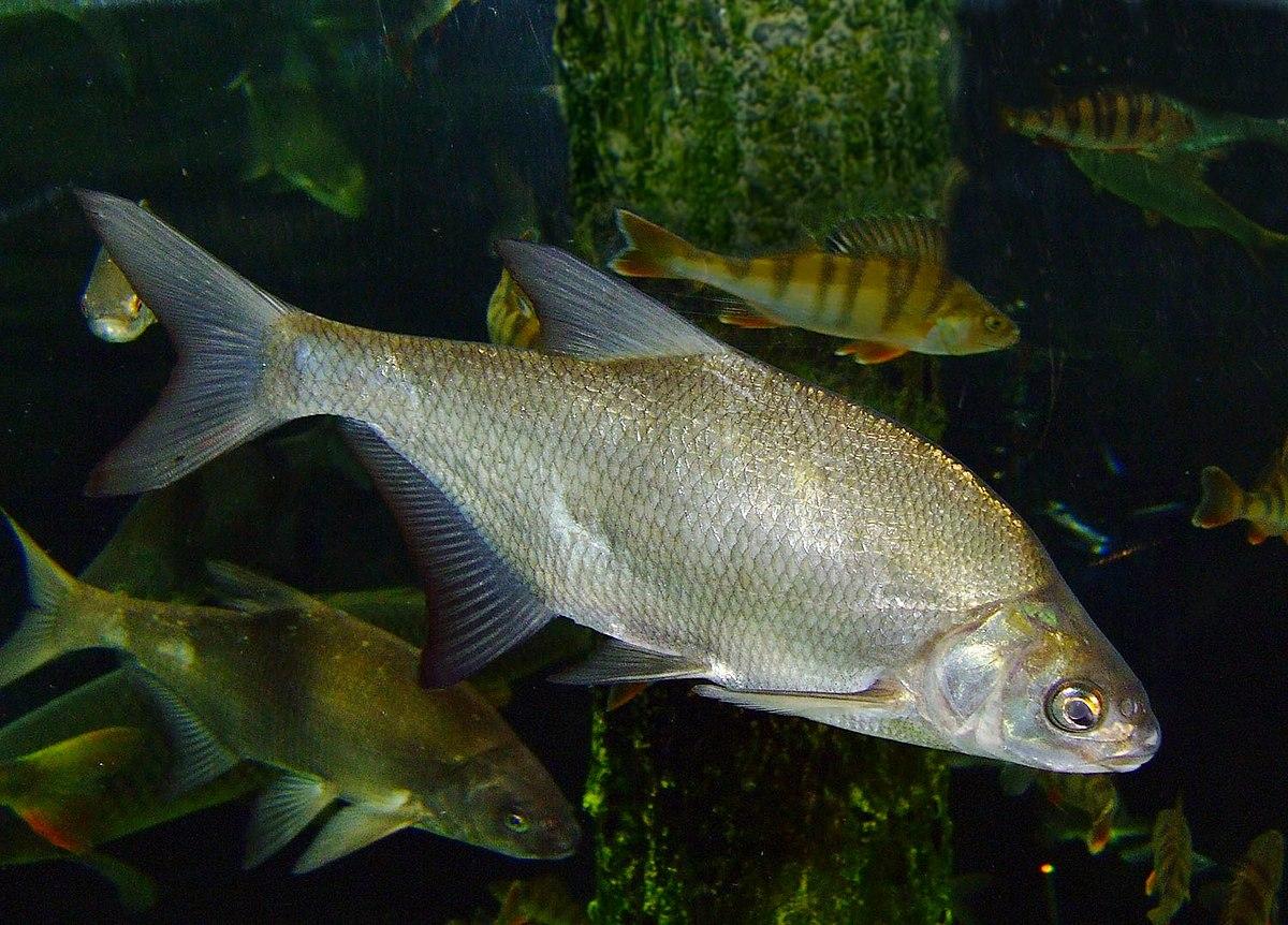 Br me commune wikip dia for White amur fish