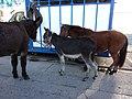 Carpentras - foire de la Saint Siffrein 2015 - foire aux chevaux 16.JPG