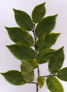 Hornbeam Genus of flowering plants