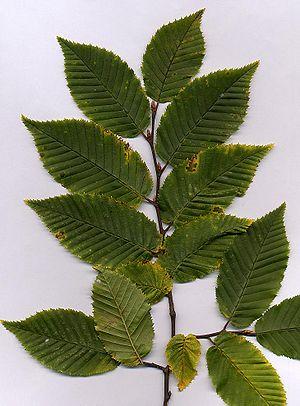Hornbeam - European hornbeam foliage