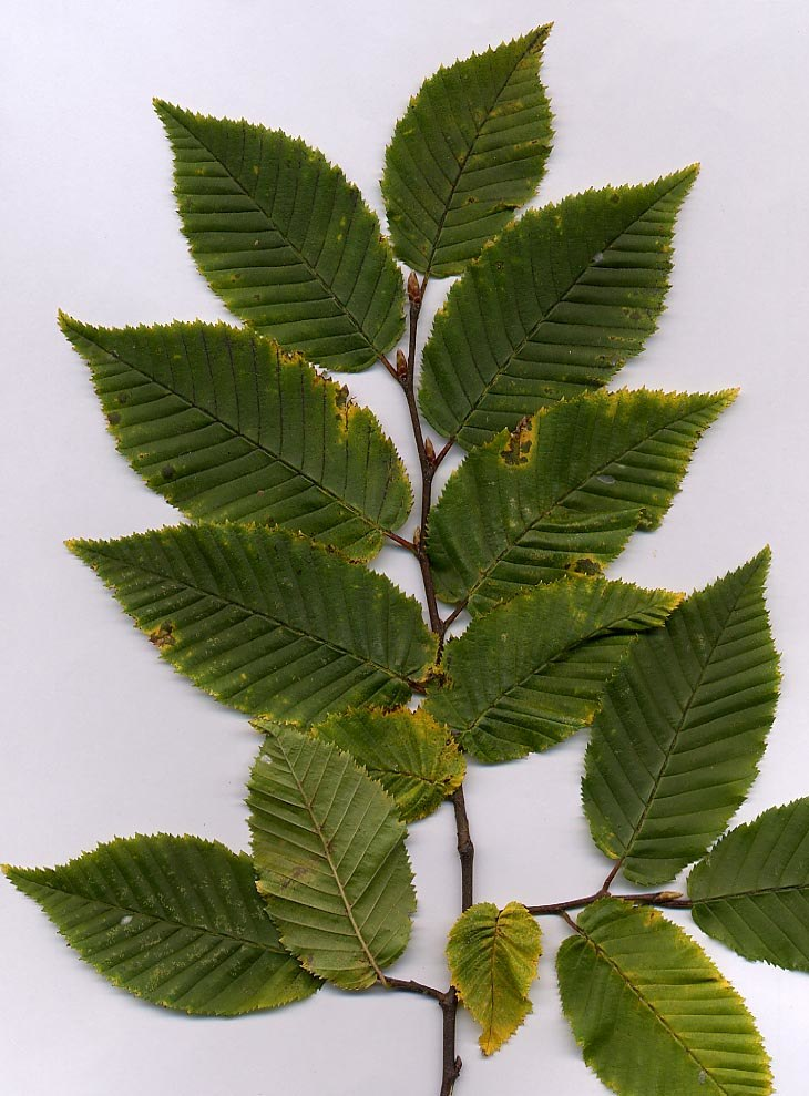 Carpinus foliage