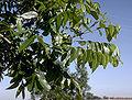 Carya illinoinensis foliage.jpg