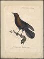 Cassidix vieilloti - 1825-1834 - Print - Iconographia Zoologica - Special Collections University of Amsterdam - UBA01 IZ15800311.tif