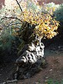Castanea sativa.002 - Las Medulas.JPG