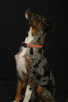 Blue Leopard Catahoula with brindled tan markings