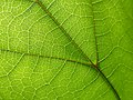 Catalpa sp, leaf veins 01.jpg