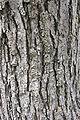 Catalpa speciosa textura del tronco.jpg
