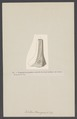 Catillus brongniarti - - Print - Iconographia Zoologica - Special Collections University of Amsterdam - UBAINV0274 005 11 0022.tif