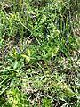 Caucalis platycarpos subsp. platycarpos sl1.jpg