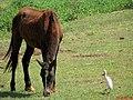 Cavalo e Garça na entrada de Pradópolis. - panoramio.jpg