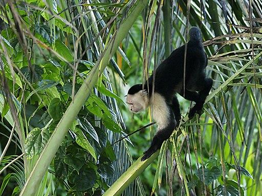 Cebus capucinus (Cahuita NP) Places to visit in Costa Rica