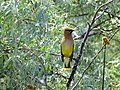 Cedar waxwing on branch (14453410416).jpg