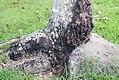 Ceiba speciosa 5zz.jpg