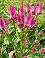 Celosia ( Amaranthaceae).jpg