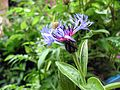 Centaurea IMG 3360 1280.jpg