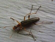 Stenotrachelidae