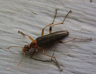 Stenotrachelidae Family of insects