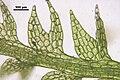 Cephalozia bicuspidata Blätter 1762.JPG