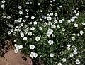 Cerasti de Gibraltar (Cerastium gibraltaricum), jardí botànic, València.JPG