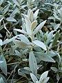 Cerastium tomentosum (BG Wroclaw)-2.JPG